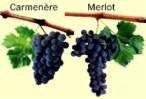 carmenere-merlot