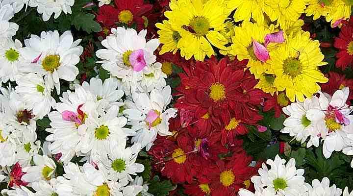 Flores de los patios de Córdoba