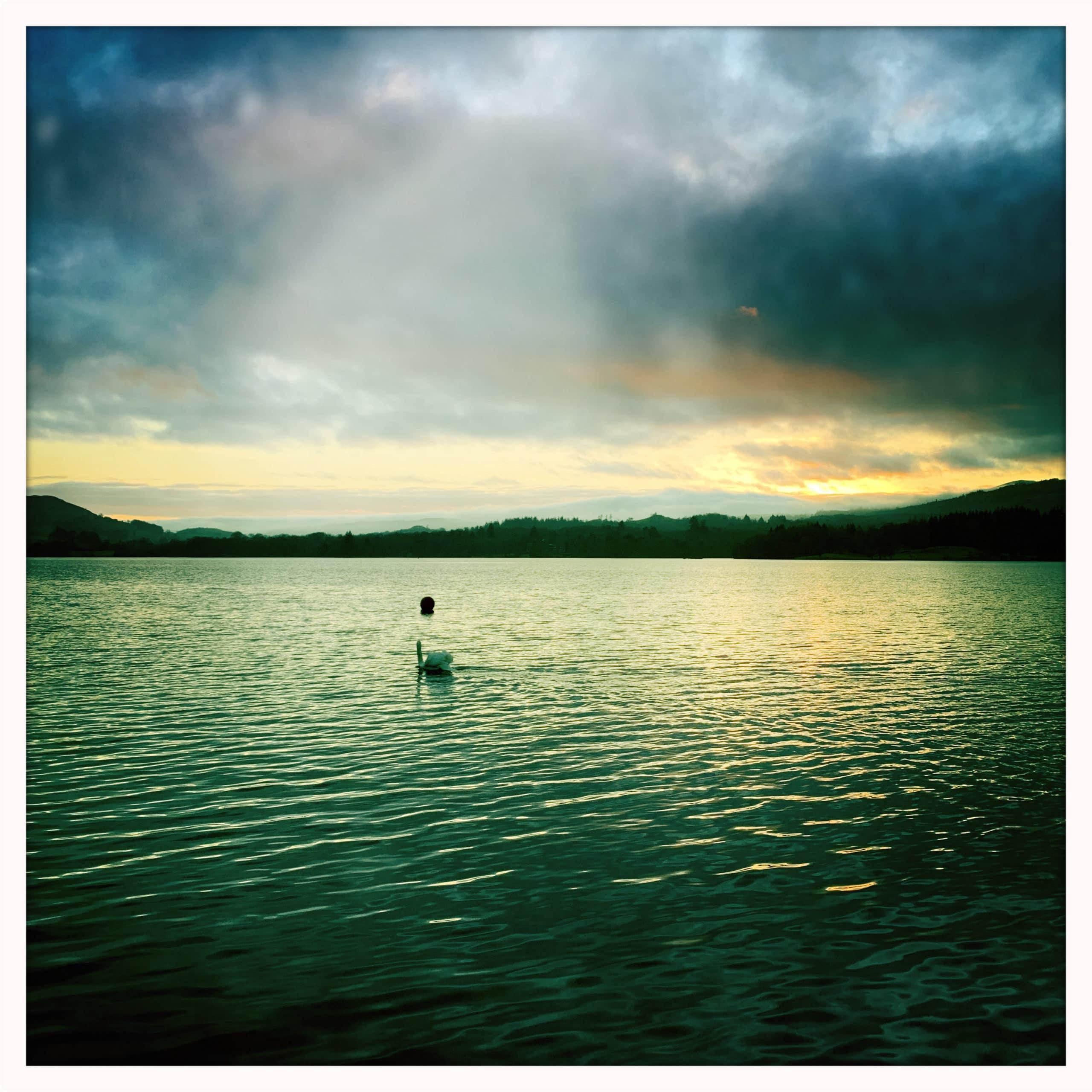 A Swan on Lake Windermere