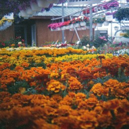 Another closeup shot, this time of some marigolds.