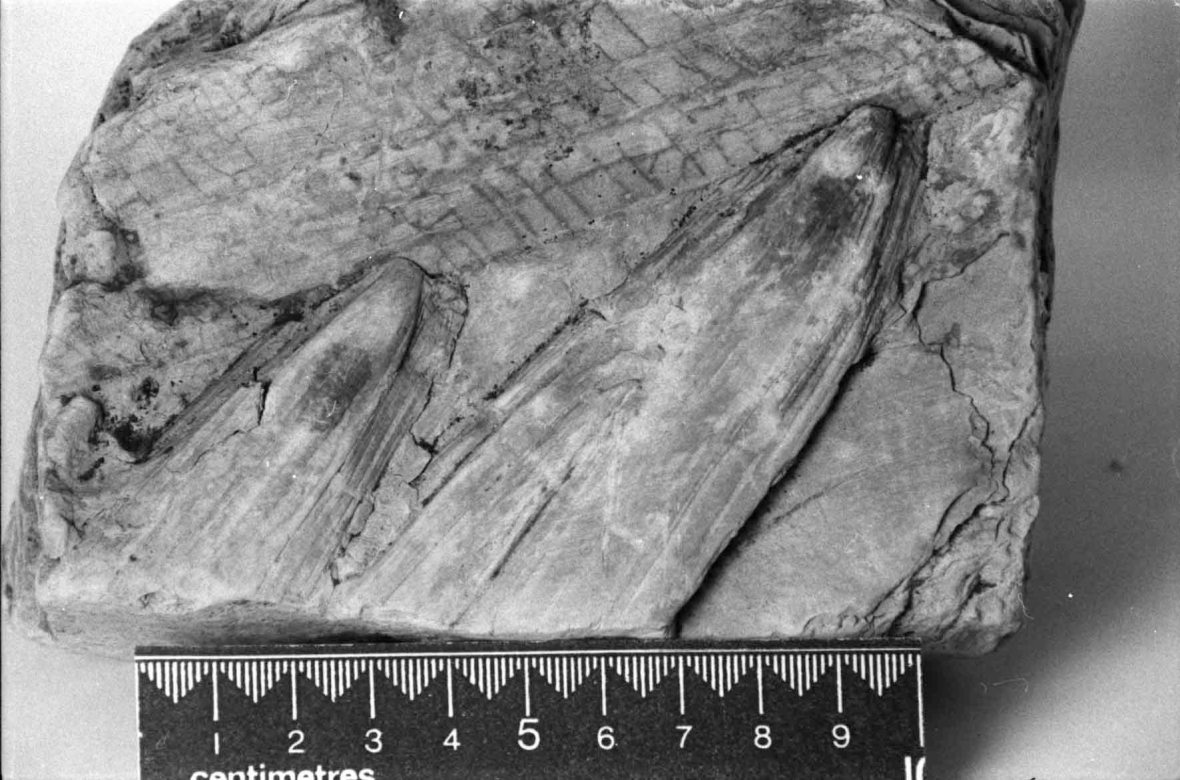 Fossil palm from New Zealand Miocene