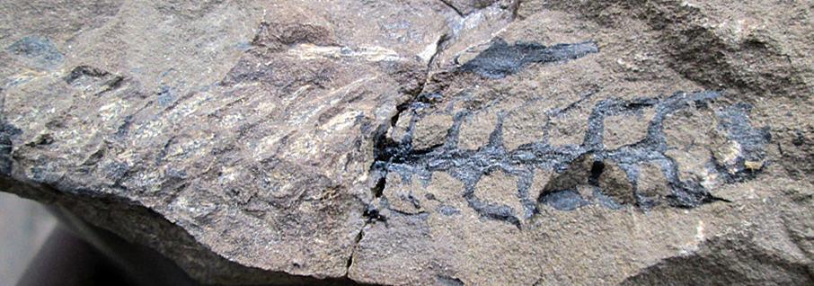 Palissya fossil cone from New Zealand Jurassic