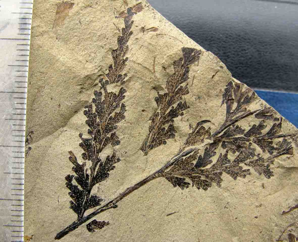 Coniopteris fossil fern from New Zealand Jurassic