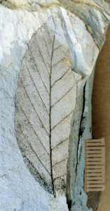 Miocene Nothofagus leaf fossil from Nevis Valley, New Zealand