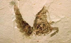 Miocene crayfish fossil