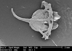 Scanning Electron Microscope photo of a Miocene Metrosideros fruit from near St Bathans, New Zealand.