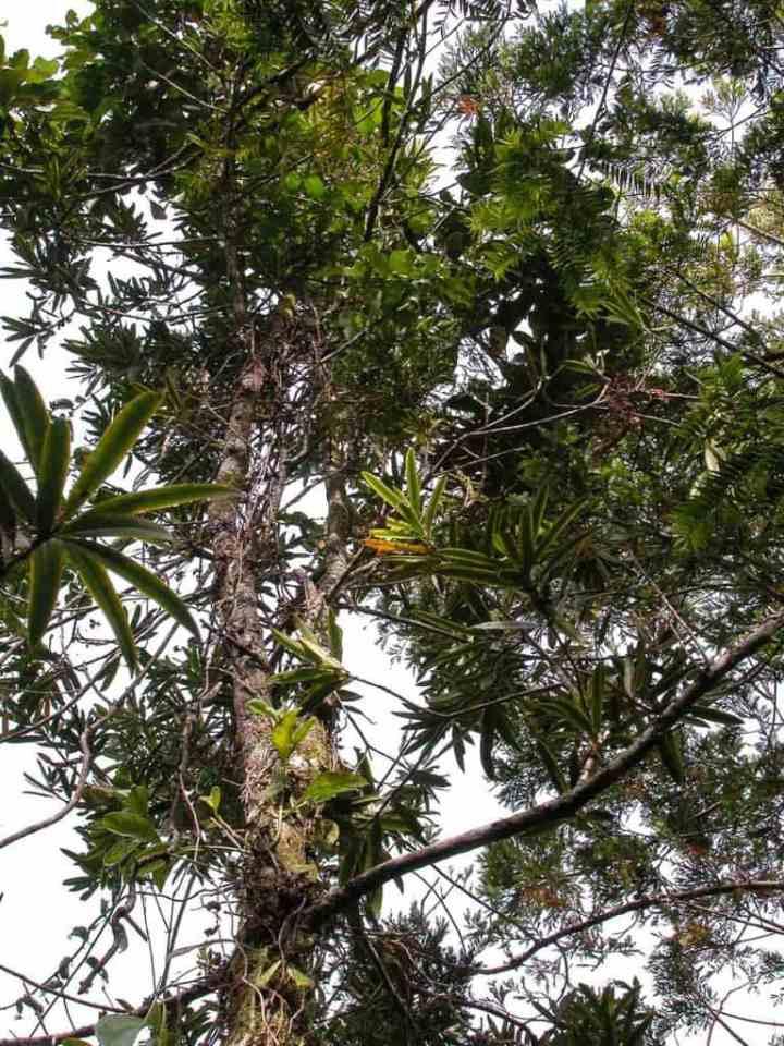fiji-retrophyllum-tree