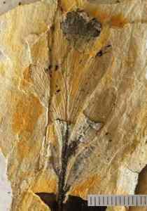 Fossil Phyllocladus from Mataora, New Zealand.