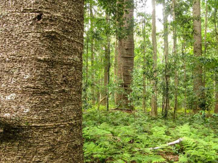 An open under story of ferns below bunya trees in Australia's Bunya Mountains.