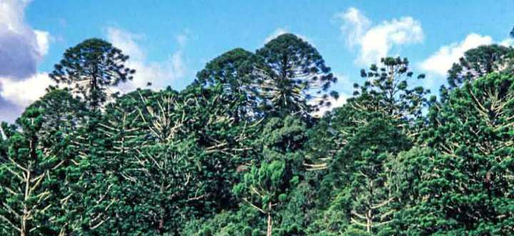 The distinctive crowns of bunya trees in the Bunya Mountains.