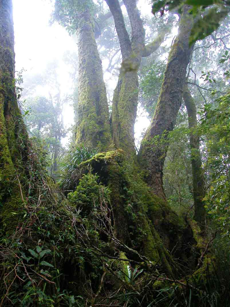 Ancient beech trees in the caldera rim rainforest.