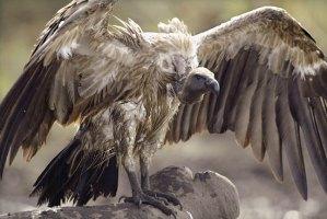 Vulture Culture Trickle Down