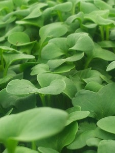 Organic Vegetable Farm Micro Greens