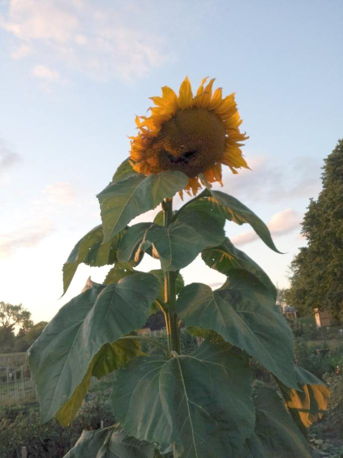 Farm Gallery 2012 Sunset Sunflower
