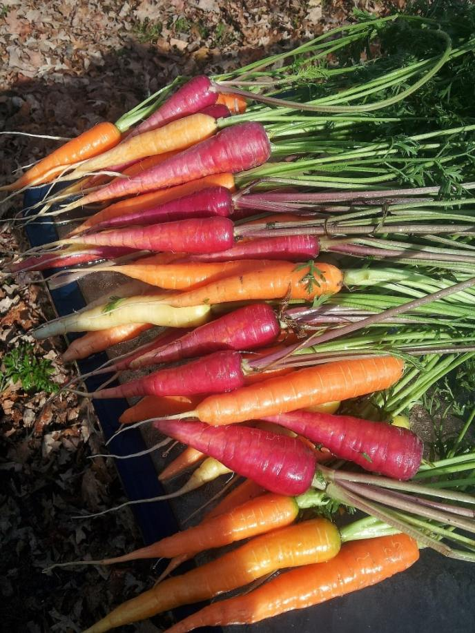 Farm Gallery 2014 Harvest for CSA shares carrots galore