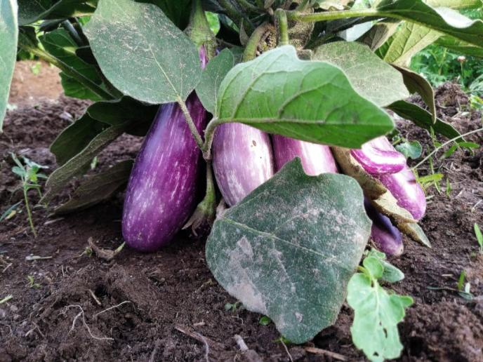 Farm Gallery 2018 Harvest eggplants