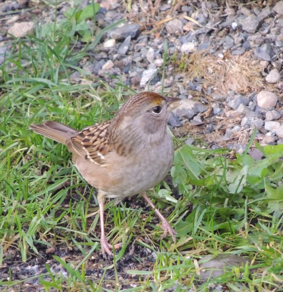 Female Golden Crowned Sparrow