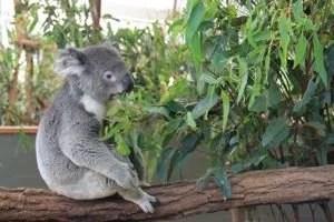 Coalas na Australia por mikix
