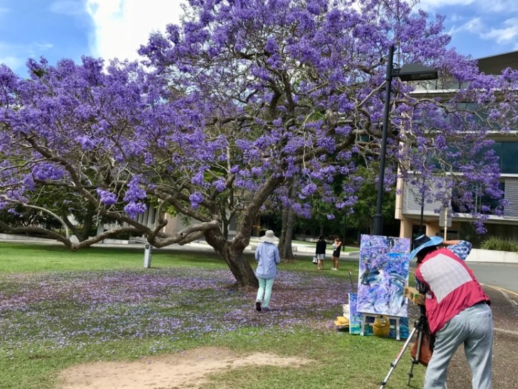 Jacarandá em Brisbane - UQ (University of Queensland)