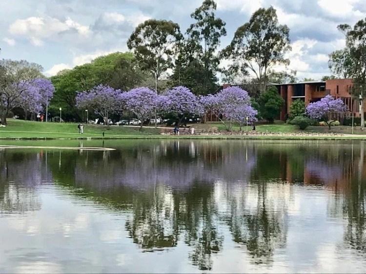 Jacarandá em Brisbane - UQ (University of Queensland)