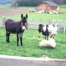 asini e capre