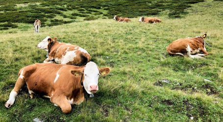 Adotta una mucca a distanza per sostenere la crisi da Coronavirus