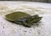 kortkopweekschildpad-2