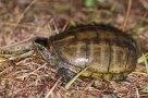 gestreeptemodderschildpad
