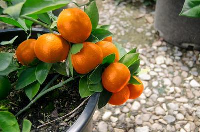 Arctic Frost satsuma mandarin hybrid named new Texas ...