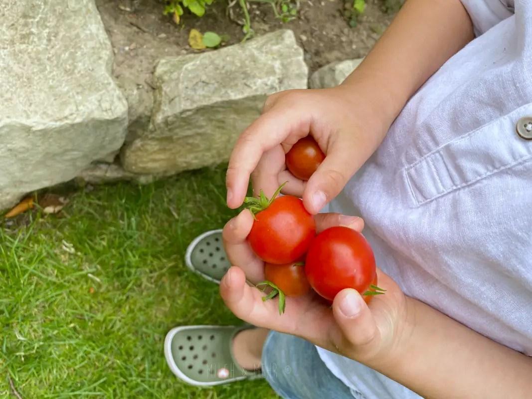 Tomaten Ernten mit Kindern