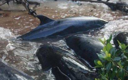Orcas Falsas, misterio tras su varamiento en Florida