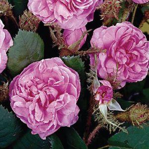 -rosa-centifolia-
