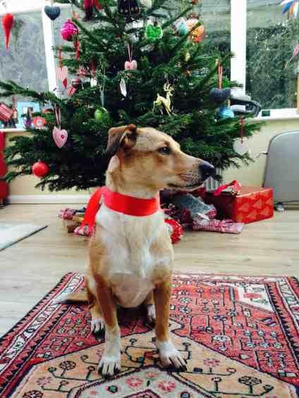 Iggy framför julgran