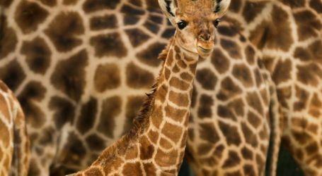 """Pequena"" girafa-de-angola é a nova residente do Jardim Zoológico de Lisboa"