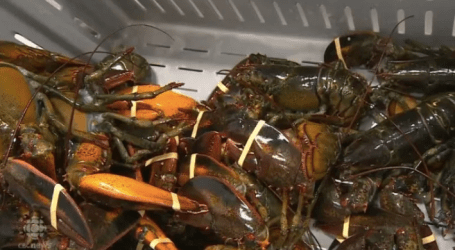 Sustainability rating drops for Clearwater's offshore lobster fishery
