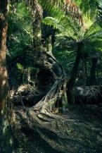 Great Otway, Nationalpark, National Park, Baum, tree, Wurzeln, roots, gigantic, gigantisch, wunderschoen, Spaziergang, Maits Rest, Forest Walk, dicht, Urwald, Regenwald, Must do, Travelblog, Reiseblog