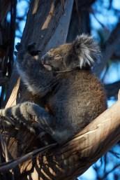 Koala, Koalabär, Koalabaer, Kangaroo Island, wach, awake, in tree, auf Baum, suess, süß, in der Natur, in nature, natürliche Umgebung, natuerliche Umgebung, Miles and Shores, Reiseblog, Travelblog, travel pictures, Reisefotos,