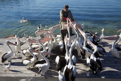 Pelikane, Kingscote, Pelikan, Fütterung, Fuetterung, viele, hautnah, Spaßig, interessant, Kangaroo Island
