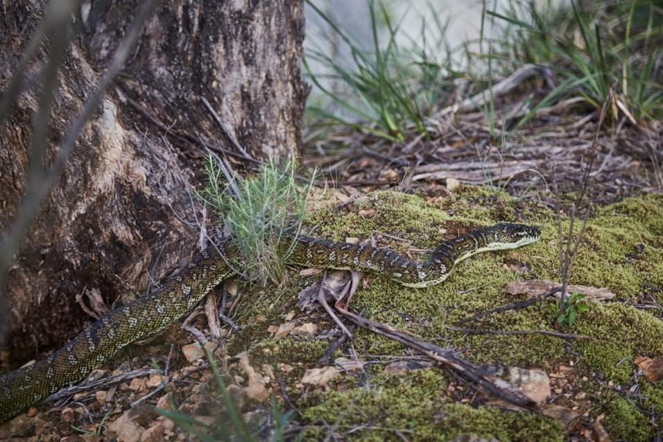 Carpet Python, snake, Schlange, Diamond Python, Australien, Australia, Roadtrip, Wanderweg, wandern, Wild Oxley Rivers, National Park, Nationalpark, Rautenpython, welche Schlangen gibt es in Australien
