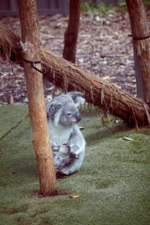 Koala, kann nicht klettern, krank, Hospital, Port Macquarie, spenden, helfen, adoptieren, Feueropfer, Brandopfer, Buschbrand