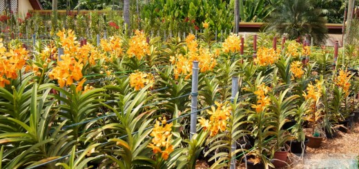 吉隆坡 -  Orchideengarten(兰花塔曼)