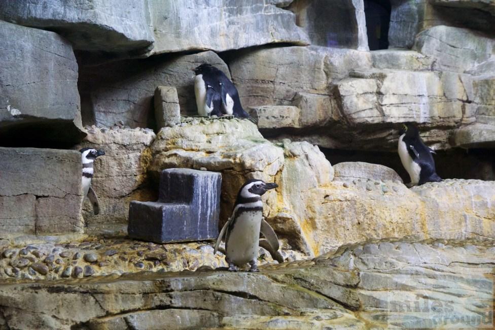 Pinguine im Shedd Aquarium