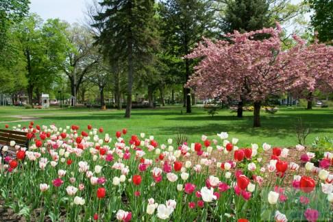 Tulpen im Centennial Park