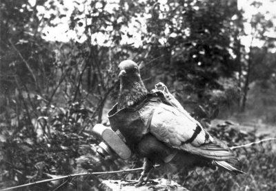 一只带有捆绑相机的鸽子,用于侦察