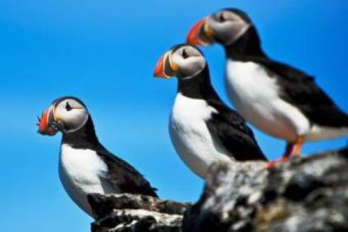 Puffins In Iceland Military and Veteran Discounts on all Northern Europe Cruises