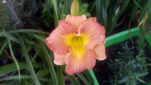 Hemerocallis • Broadway attraction X Glacier bay