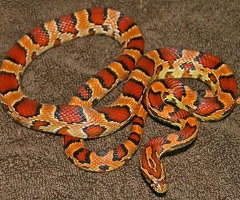 Serpente del grano mille animali - Serpente collegare i punti ...