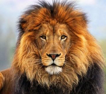Evoluzione del leone
