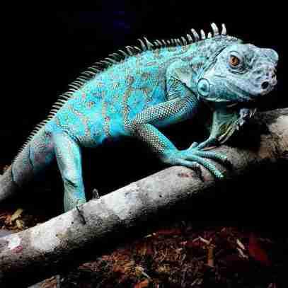 iguana-1102713_960_720