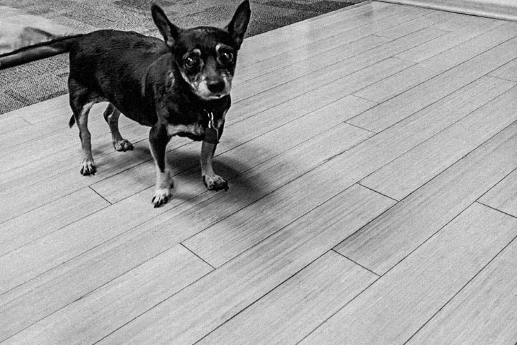 Dog on wood floor at Miller Ad Agency